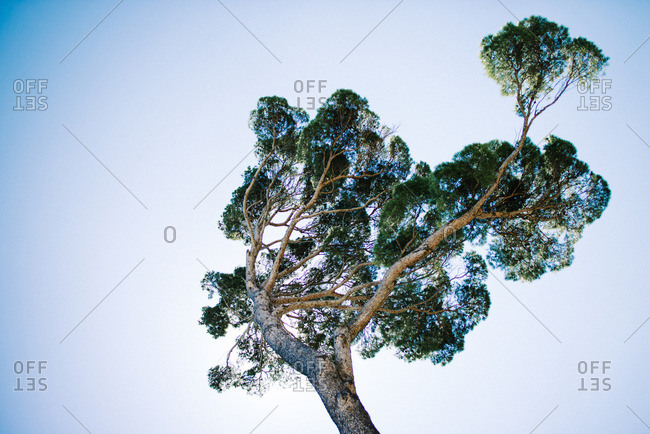 Pine tree in France