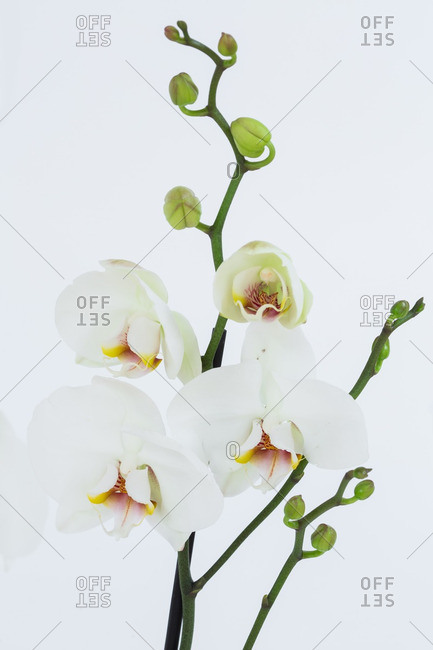 Orchid flowers in bloom