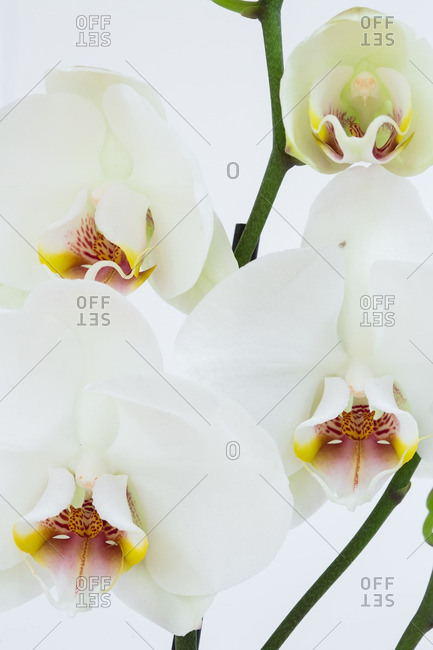 Orchid flowers in close up