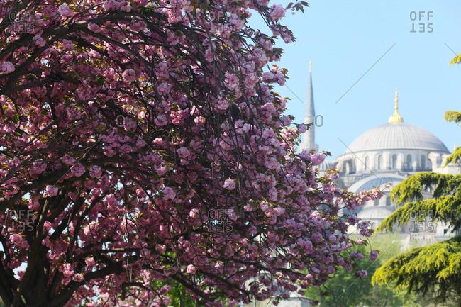 Flowering tree and Hagia Sophia, Istanbul