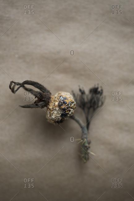 A dried plant head