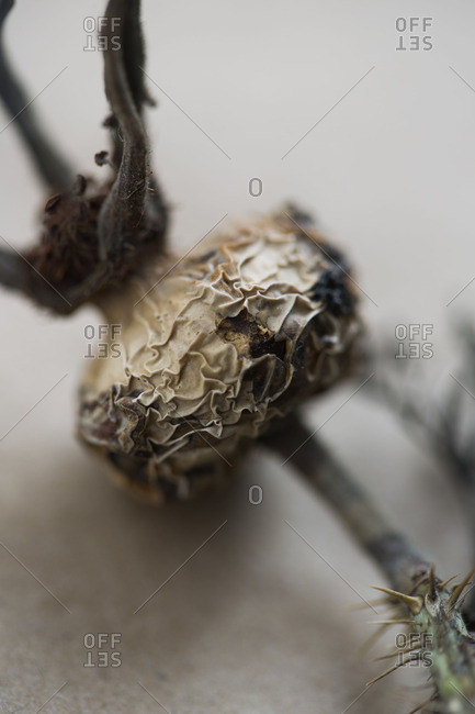Dried plant head in close up