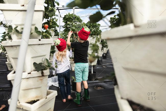 Children picking strawberries on a farm