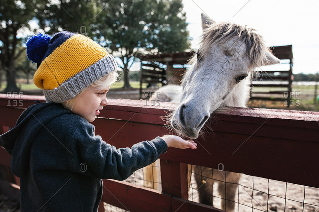 Little boy feeding a pony at a petting zoo