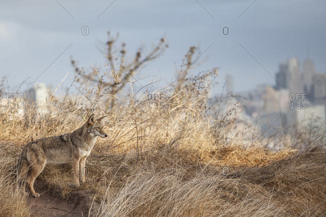 Coyote on hillside in Bernal Heights, San Francisco