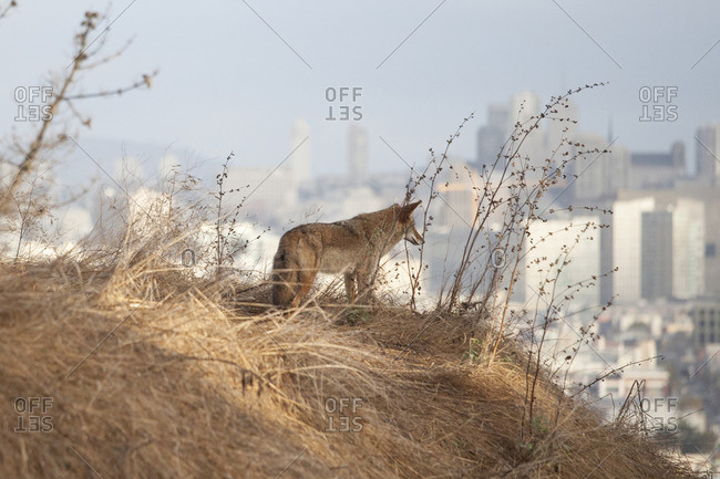 Coyote on hill overlooking San Francisco, California