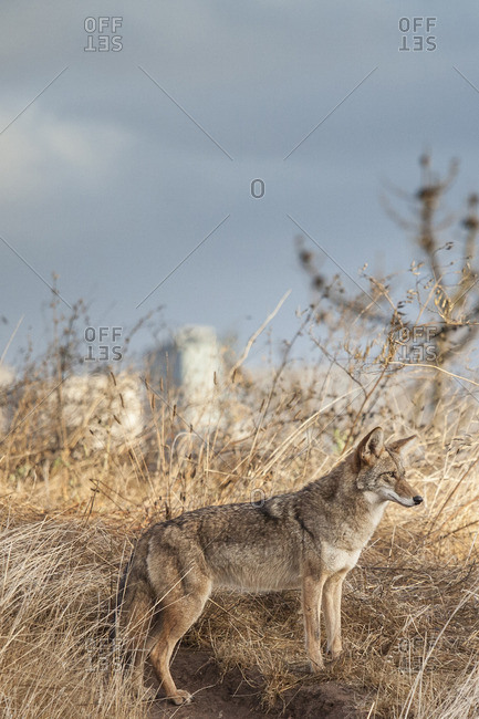 Coyote on hillside above San Francisco, California