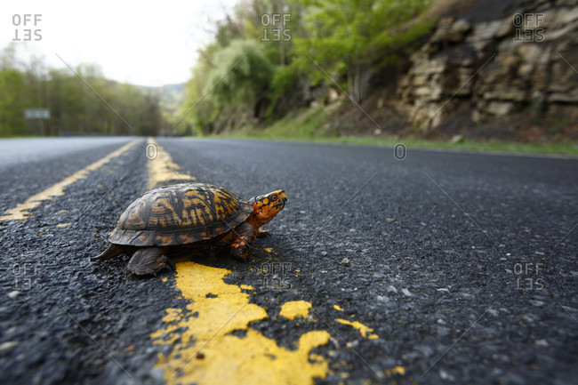 A turtle makes a slow journey crossing Rt16 south of Fayetteville WV