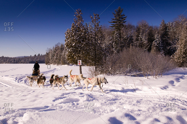 Dog pack pulling sled in snowy landscape