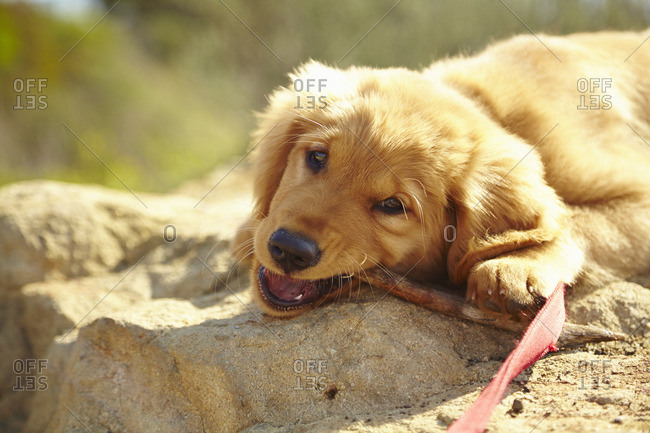 Labrador puppy lying on rock, chewing stick