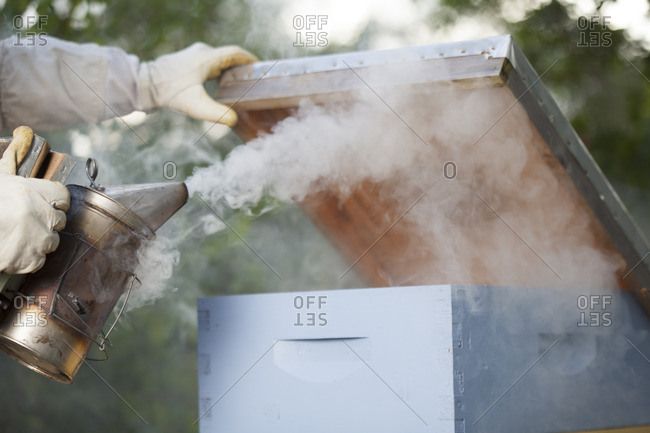 Using smoker on a beehive