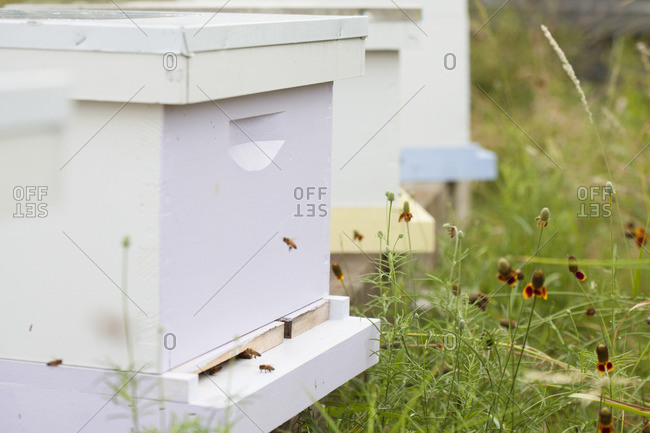 Bees flying around apiary