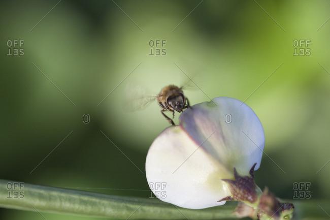 Bee on a flower petal