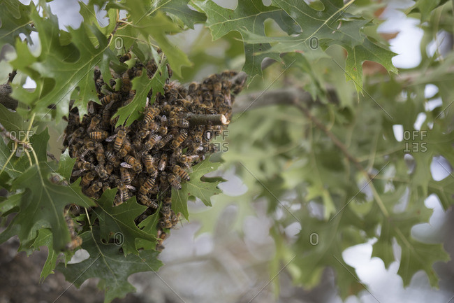 Bees swarming on a tree branch