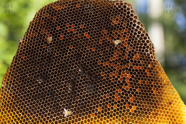 Bees crawling on honeycomb