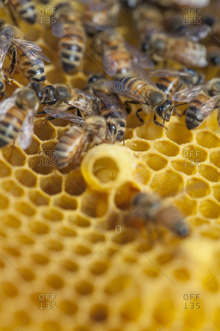 Close up of bees on honeycomb
