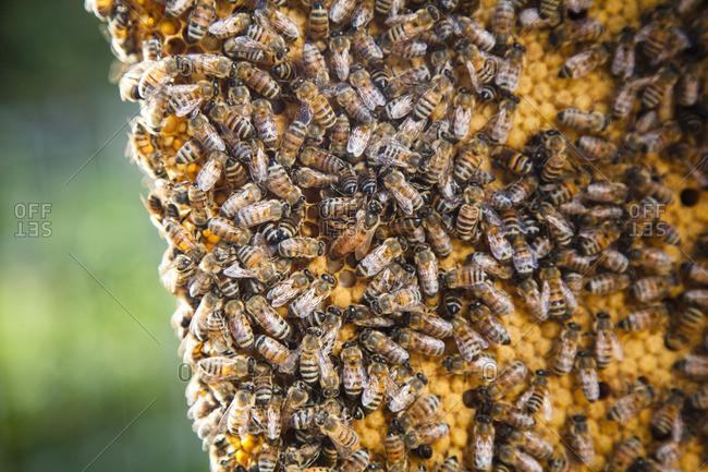 Bee swarming crawling on honeycomb