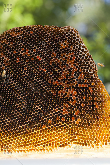Bees crawling on a honeycomb