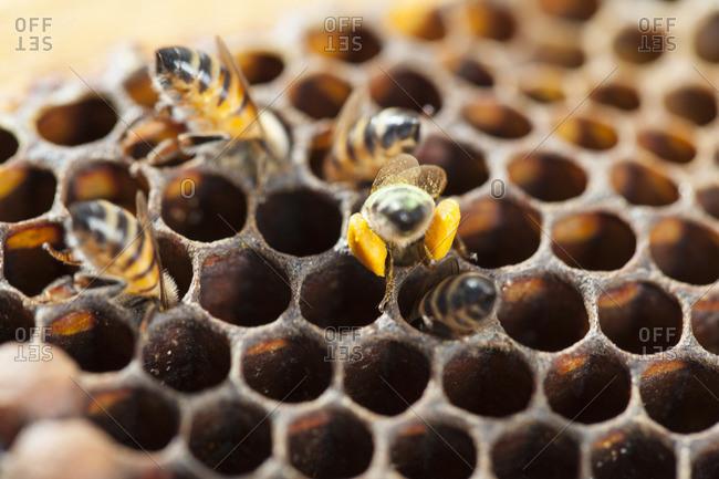Bees putting pollen in honeycomb