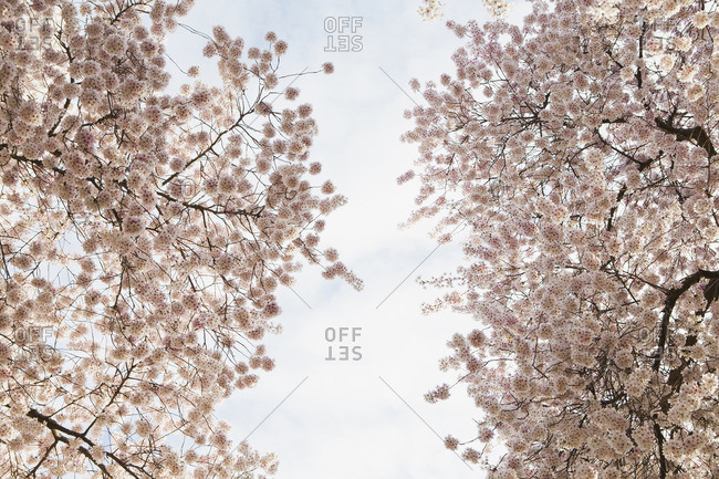 Blooming cherry blossom trees, flowering in the spring. Pink flowers.