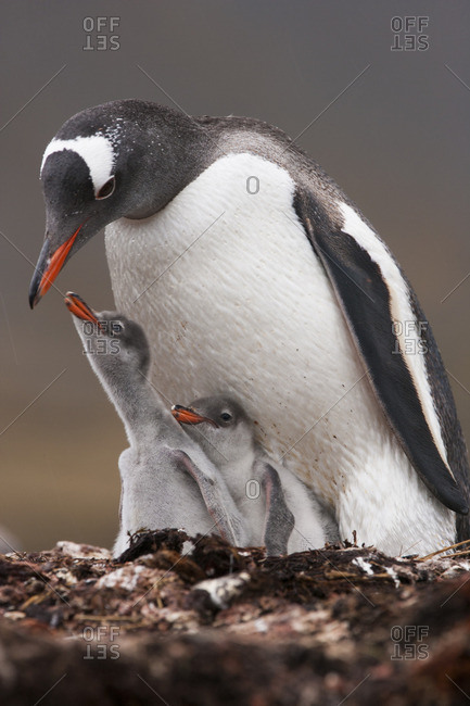 A Gentoo penguin and two chicks on South Georgia Island.