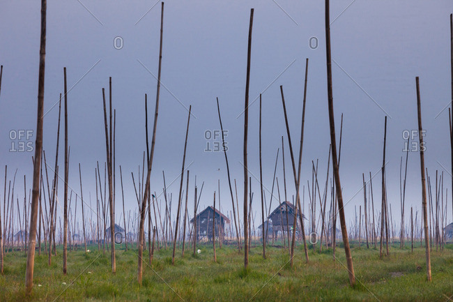 The marshes of Inle Lake, Myanmar. Small houses on stilts, and tall poles upright in the marsh landscape.