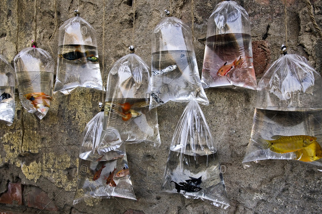 Colorful fish for sale hanging in plastic bags of water at a market in Kolkata.