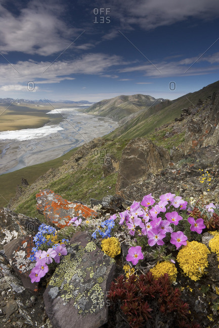 Hardy arctic wildflowers grow only a few inches high in order to reduce exposure to the moisture-robbing winds, Arctic National Wildlife Refuge, Alaska, USA.