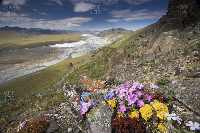 Hardy arctic wildflowers grow only a few inches high in order to reduce exposure to the moisture-robbing winds, Arctic National Wildlife Refuge.
