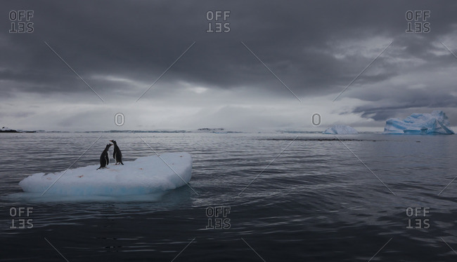 Gentoo penguins on an iceberg, Antarctica
