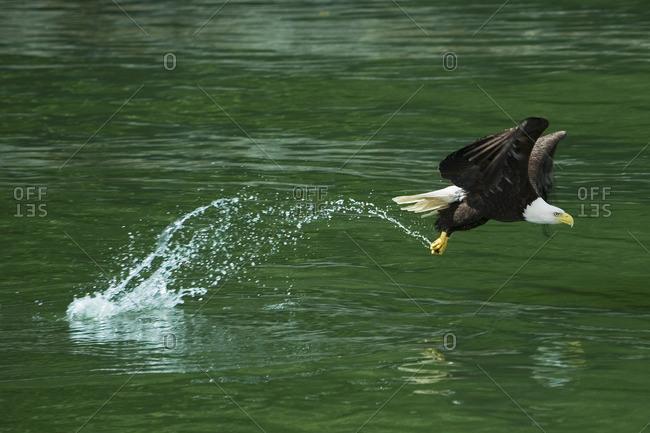 Bald Eagle, Glacier Bay National Park, Alaska