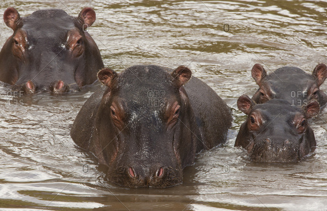 Hippopotamuses and calves, Kenya