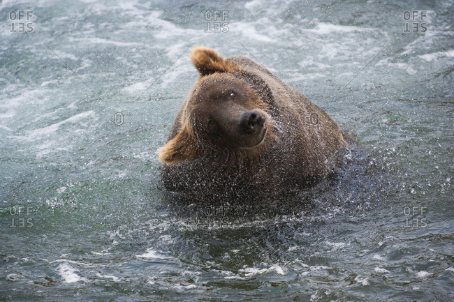 A brown bear shakes off excess water after fishing in Katmai National Park, Alaska, USA.