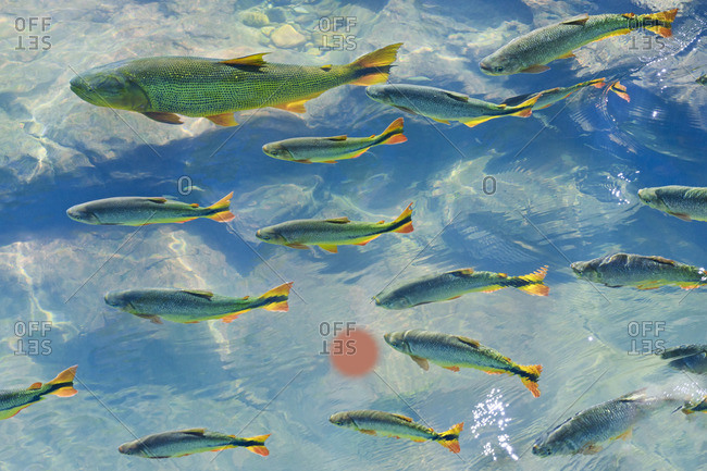 A school of fish in the clear waters of a river in the Pantanal in Brazil.