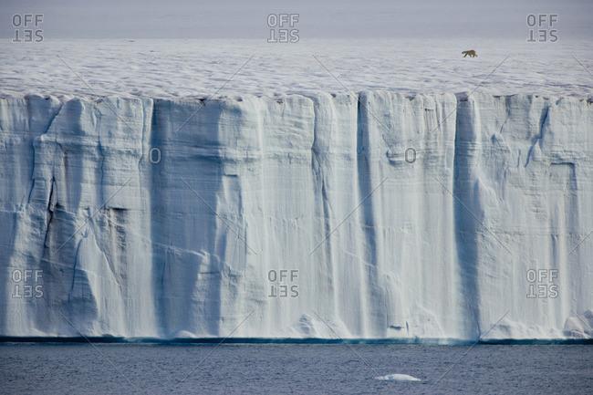 A polar bear, Ursus maritimus, striding across the ice.