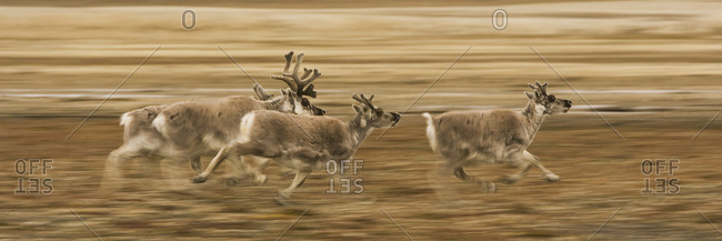 Four reindeer, Rangifer tarandus platyrhynchus, with antlers, galloping along a migration path.