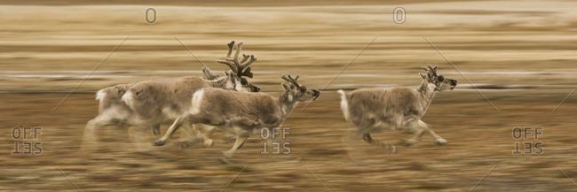 Four reindeer, Rangifer tarandus platyrhynchus, with antlers, galloping along a migration path.