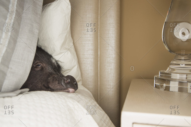 A mini pot bellied pig lying under the covers of a bed.