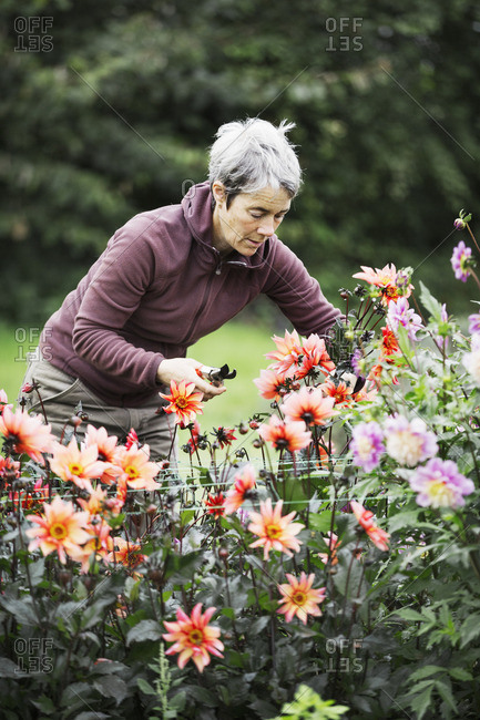 A woman cutting flowers in an organic commercial plant nursery flower garden.