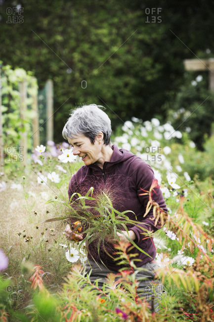 A mature woman in a flowering bed, cutting flowers for arrangements. An organic flower nursery.
