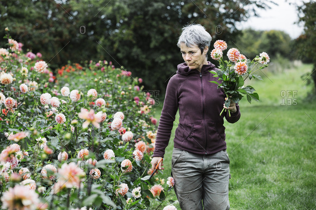 A woman picking flowers, peach colored dahlias, in a flowering bed at an organic flower nursery.