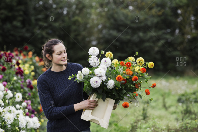 A woman working in an organic flower nursery, cutting flowers for flower arrangements and commercial orders.