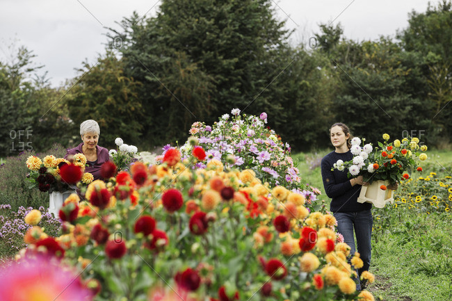 Two people working in an organic flower nursery, cutting flowers for flower arrangements and commercial orders.