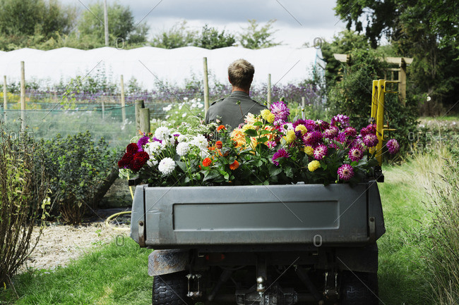 A man driving a small garden vehicle along the path between flowerbeds, loaded with cut flowers