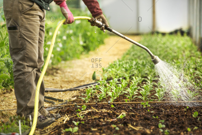 A worker in a polytunnel watering young seedlings with a hose.