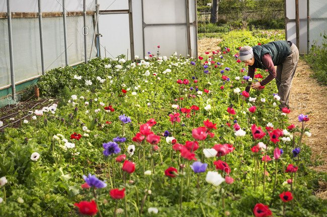 A woman bending and cutting fresh organic flowers in a polytunnel with flowering red, purple and white flowers.