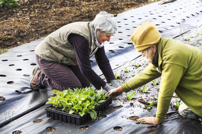 Two people planting seedling plant plugs into the soil, in holes created in moisture retaining weed surpressing material..