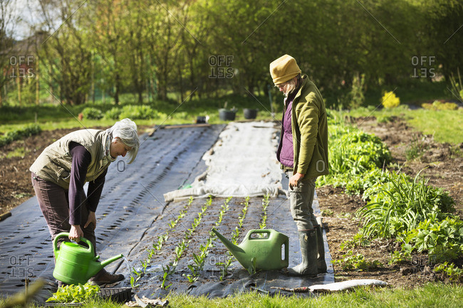 Two people watering small seedlings planted in a garden.