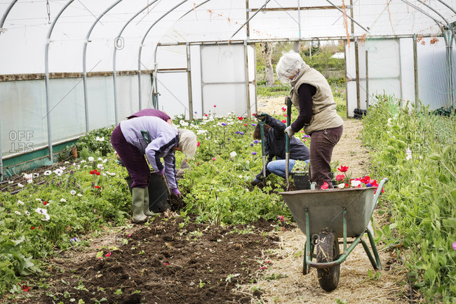 Four people, women working in a poly tunnel clearing plants from the soil.