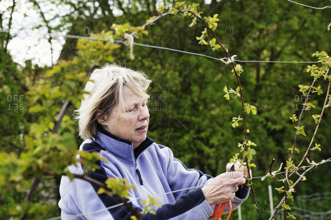 A woman tying in shoots of a climbing plant to wires.